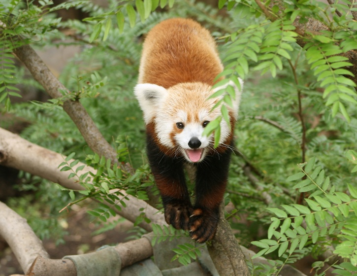 Rusty the Red Panda 5 medium