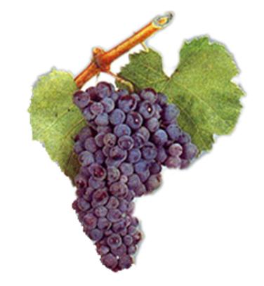 bmo-bulgaria-wine-grapes